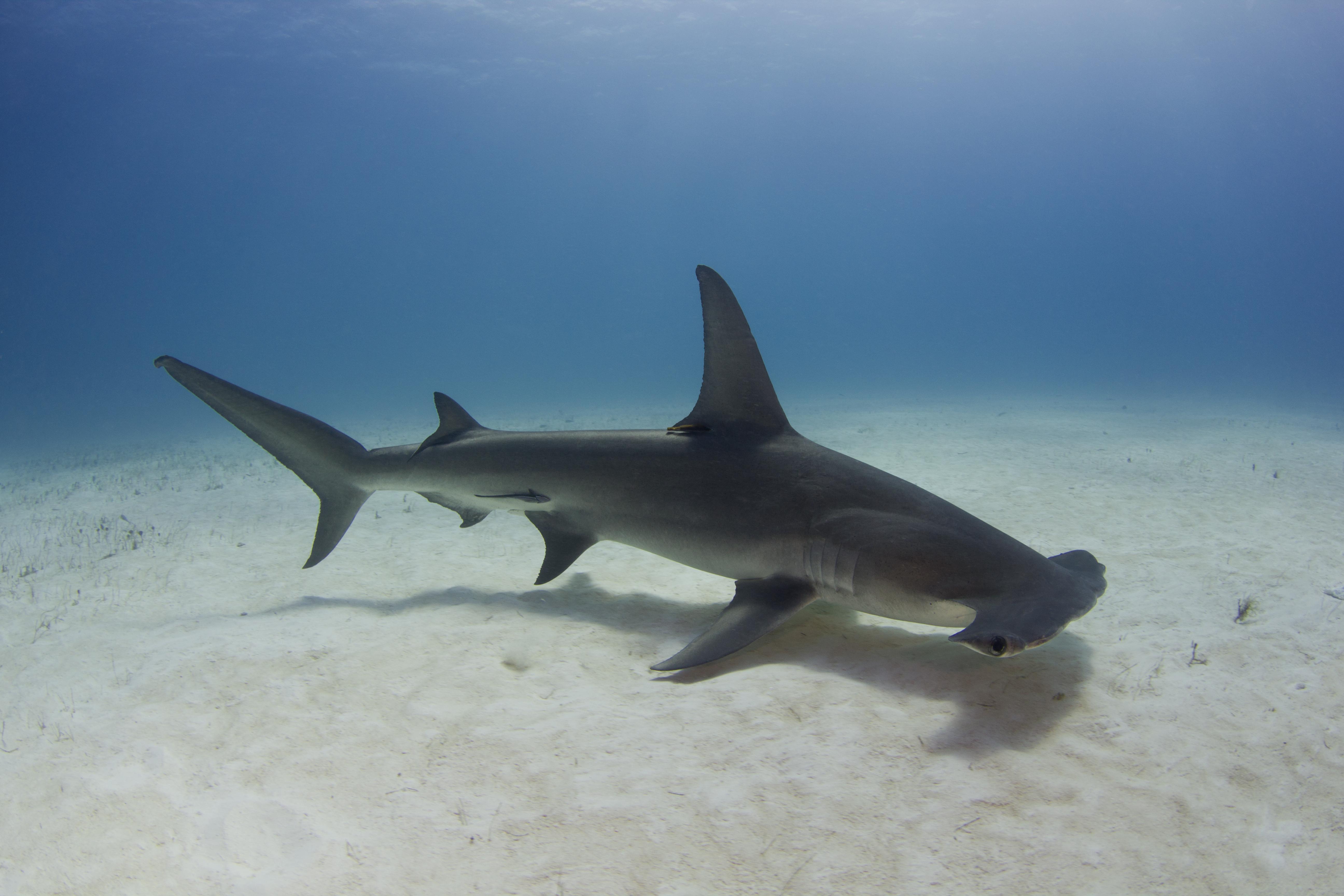 great hammerhead shark pictures - 980×653